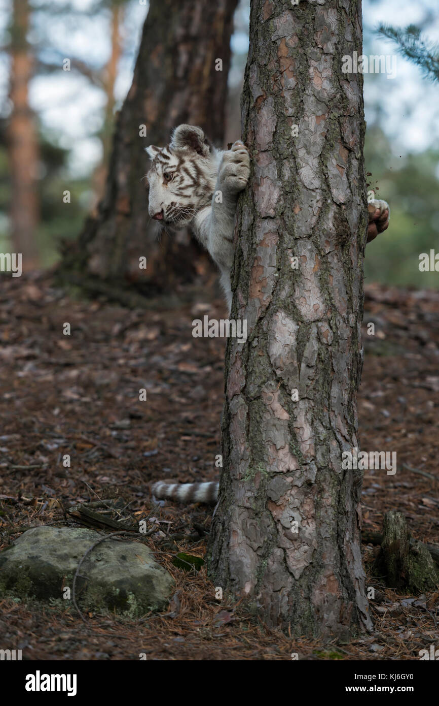 Bengal Tiger ( Panthera tigris ), white, young playful animal, adolescent, standing on hind legs behind a tree, - Stock Image