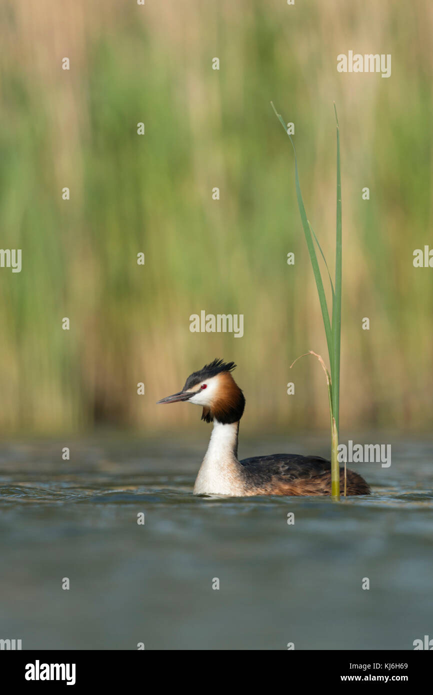 Great Crested Grebe / Haubentaucher ( Podiceps cristatus ) swimming on a lake in front of reeds, typical, characteristic - Stock Image