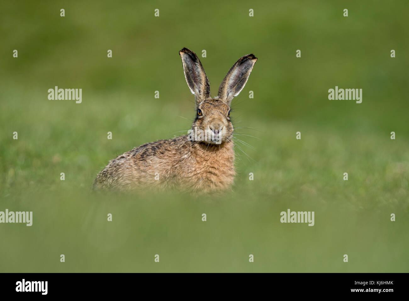 Brown Hare; Lepus europaeus  Lancashire; UK - Stock Image