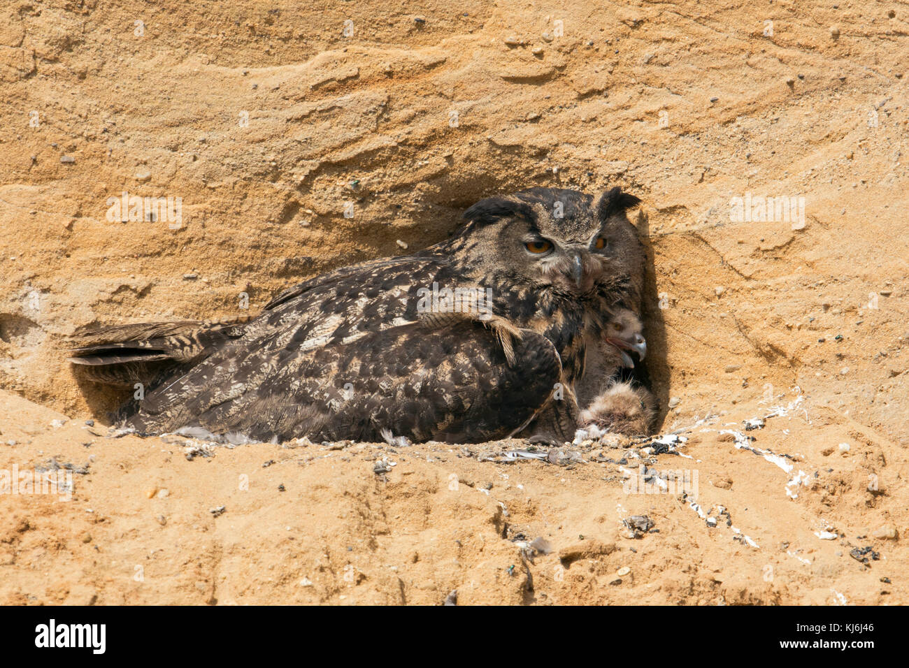 Eurasian Eagle Owl / Europaeischer Uhu ( Bubo bubo ), adult at its breeding site in a sand pit,  gathering freshly - Stock Image
