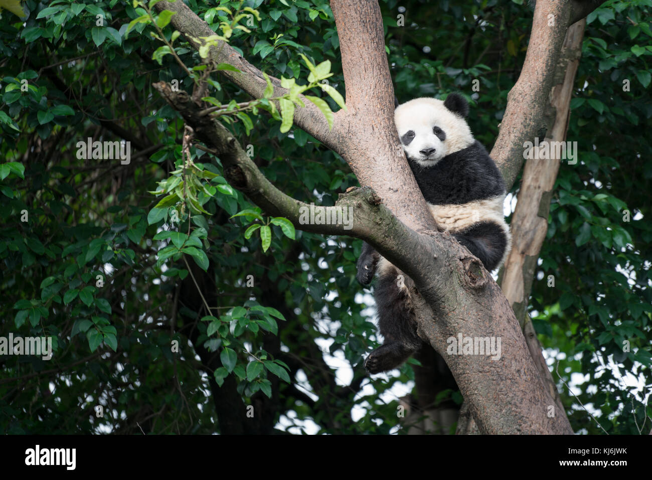 Panda sleeping on a tree in Chengdu Research Base of Giant Panda Breeding, Sichuan Province, China - Stock Image
