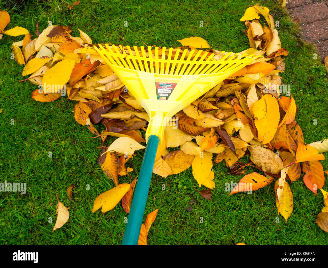 Autumn chore for gardeners, raking up falling leaves, which can be bagged forming leaf mould a useful garden fertiliZer - Stock Image