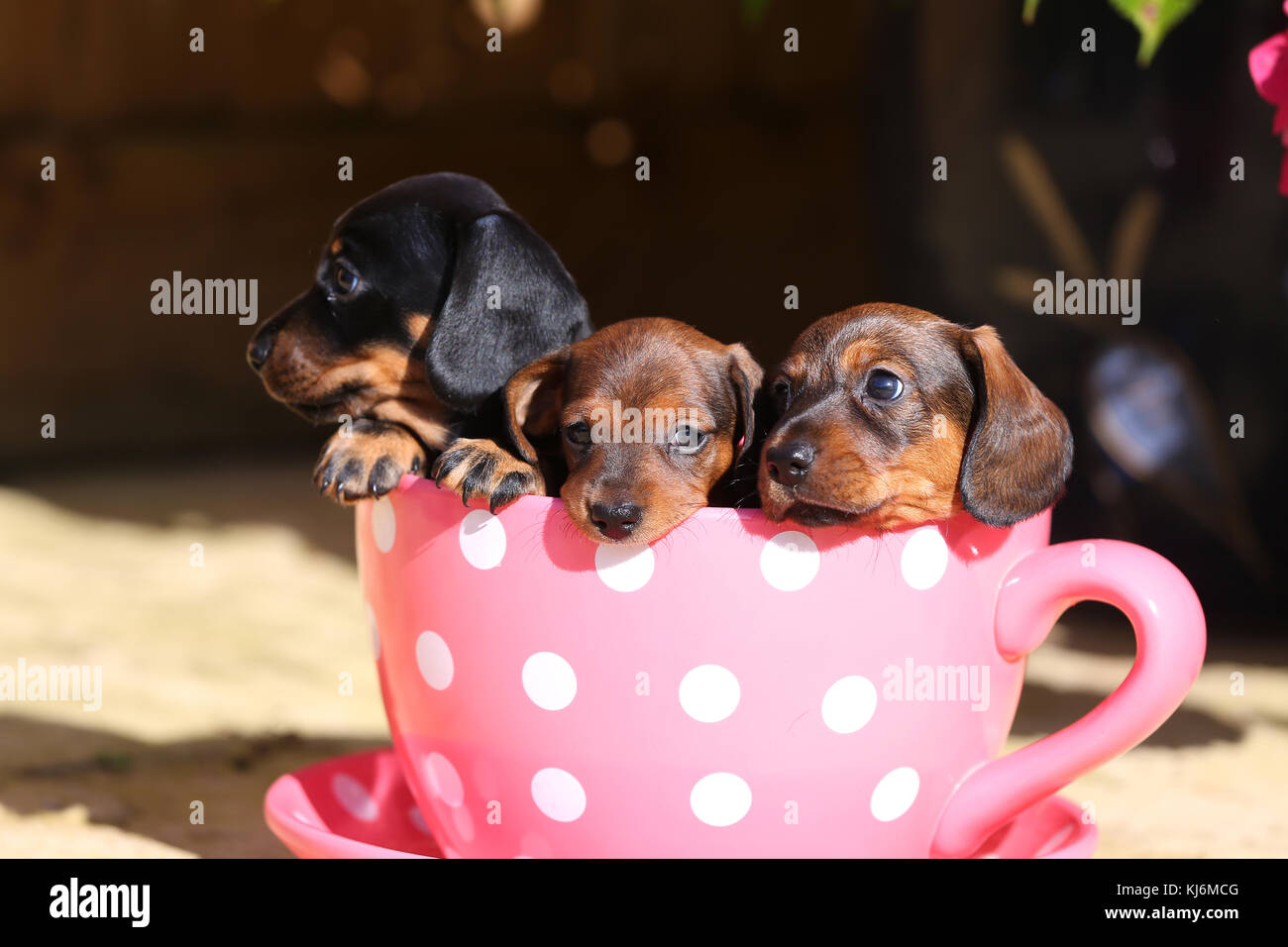 Smooth Haired Miniature Dachshund Puppies Stock Photo Alamy