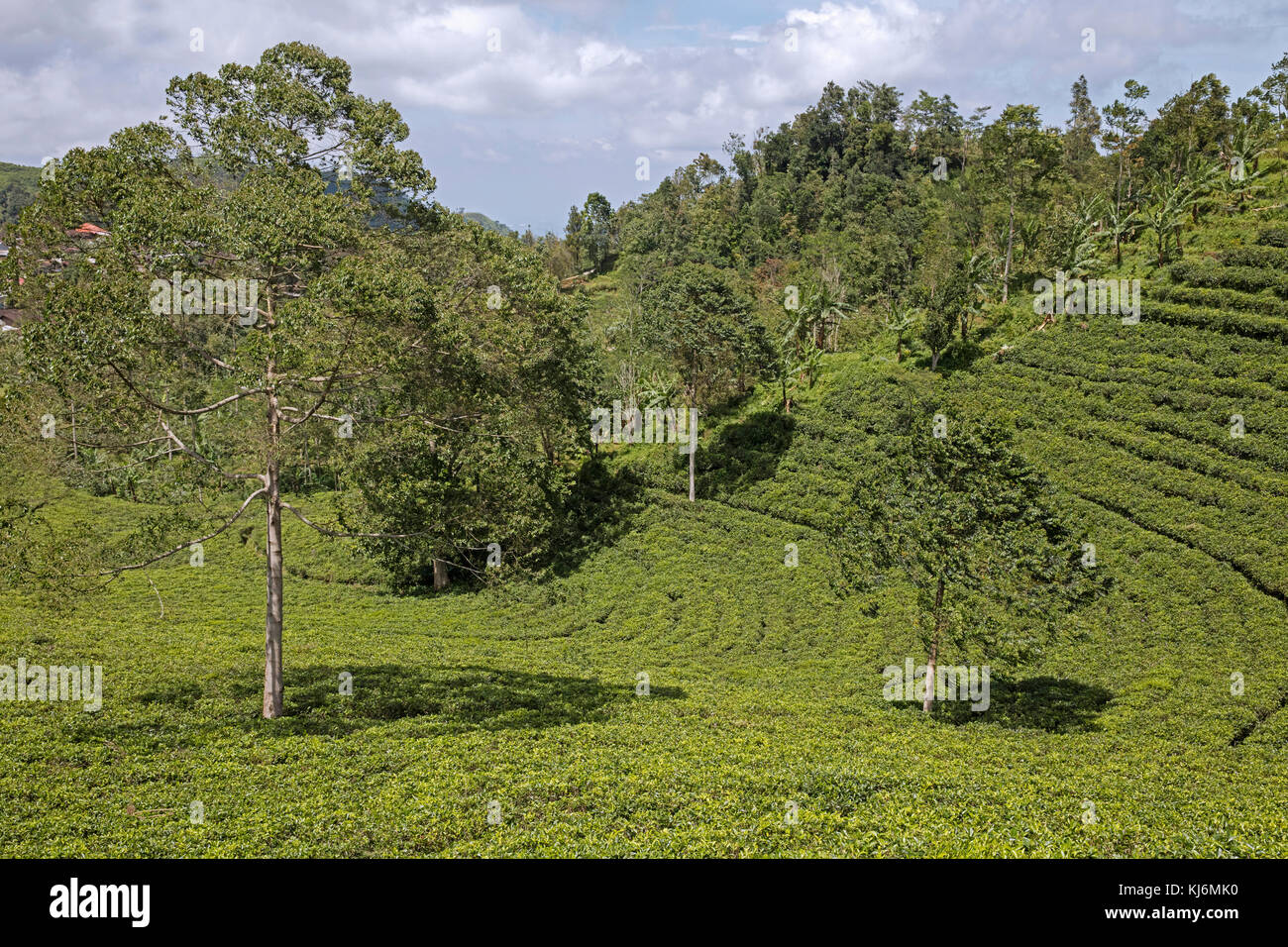 Terraced tea plantations on the slopes of Mount Lawu / Gunung Lawu near Solo / Surakarta, Central Java, Indonesia - Stock Image