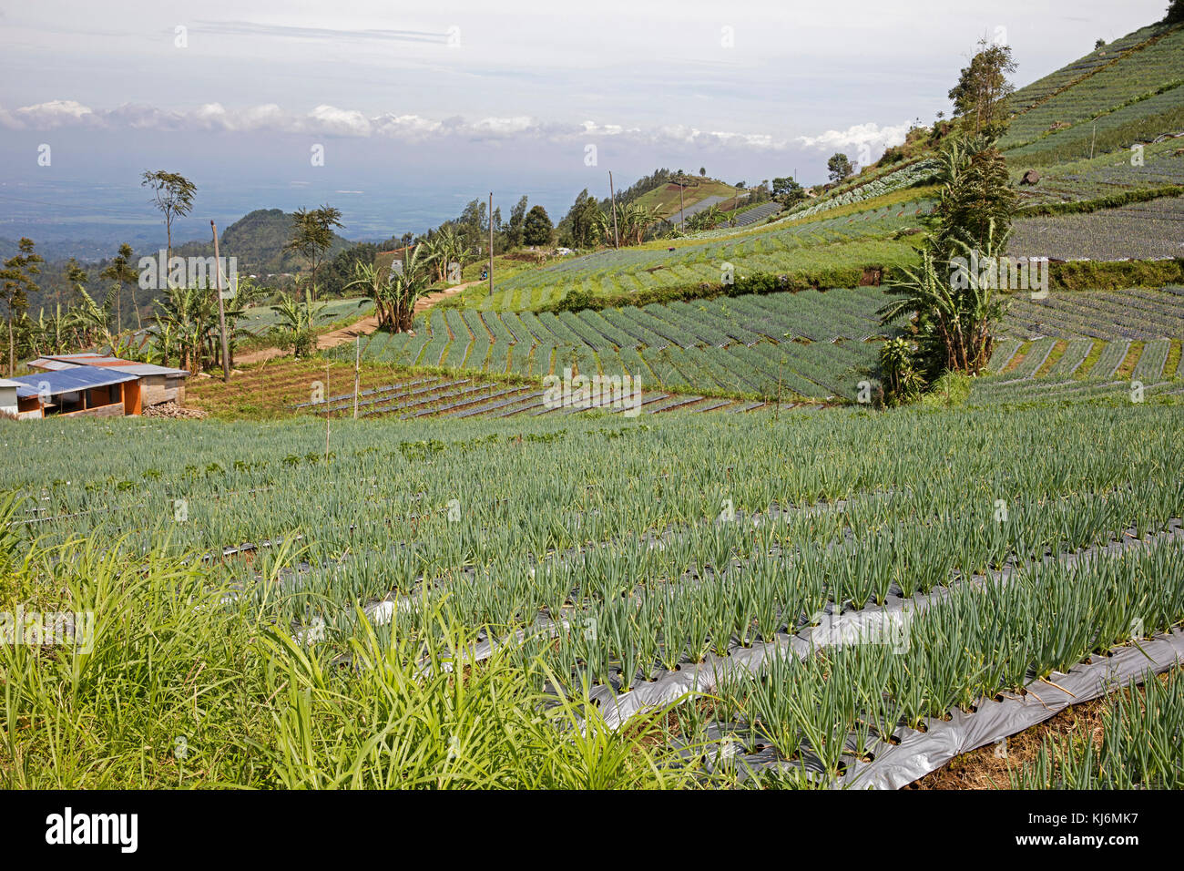 Field with onions on the slopes of Mount Lawu / Gunung Lawu near Solo / Surakarta, Central Java, Indonesia - Stock Image
