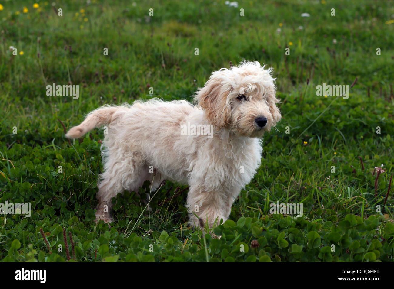 Cockerpoo Puppy Stock Photo