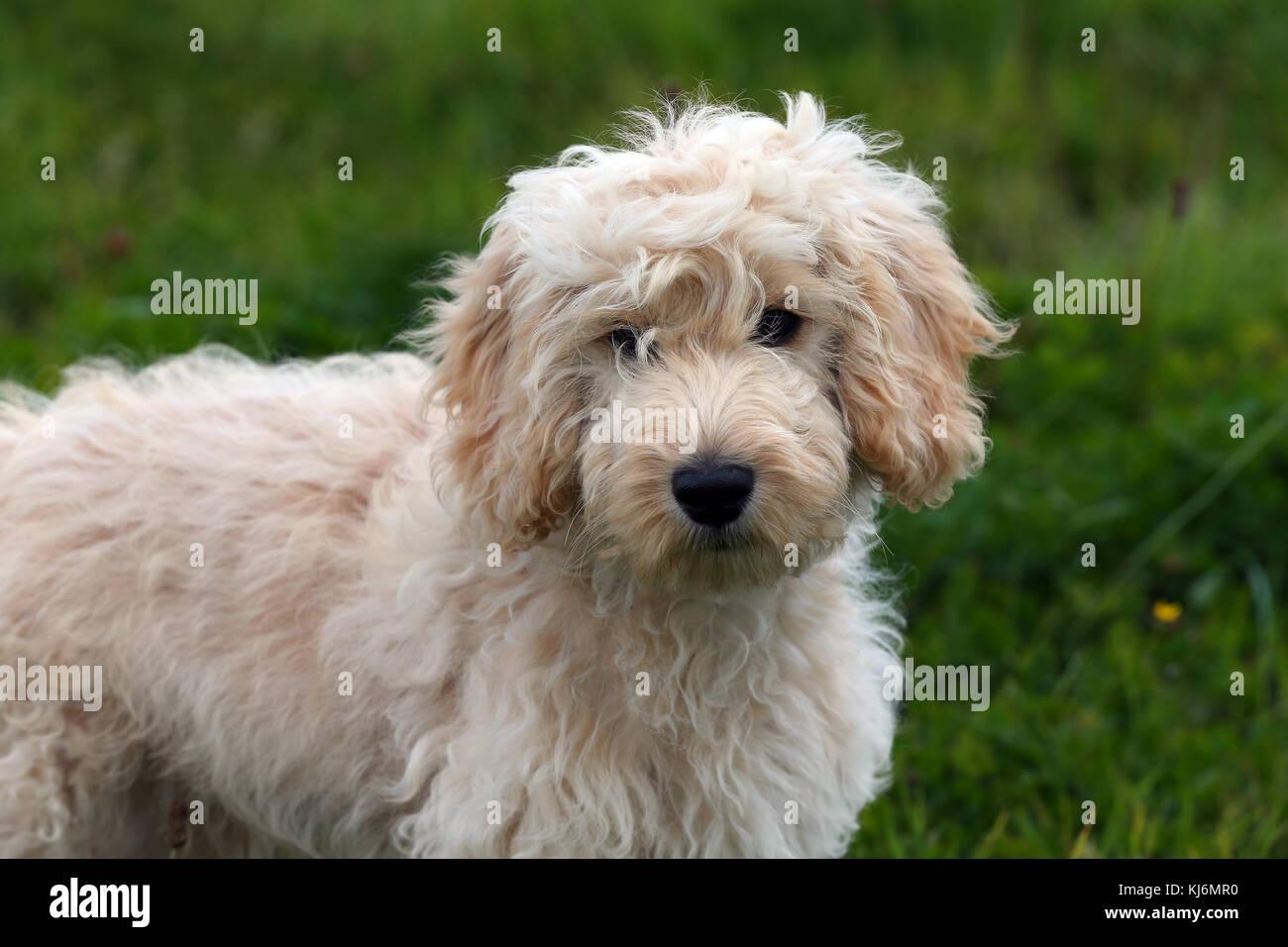 Cockerpoo Puppy - Stock Image