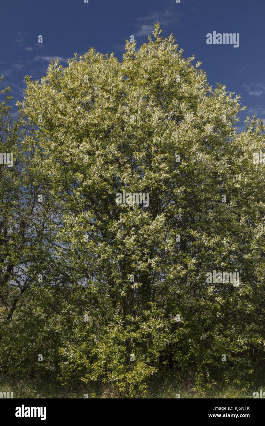 Bird cherry, Prunus padus, in flower in field hedge in spring. - Stock Image