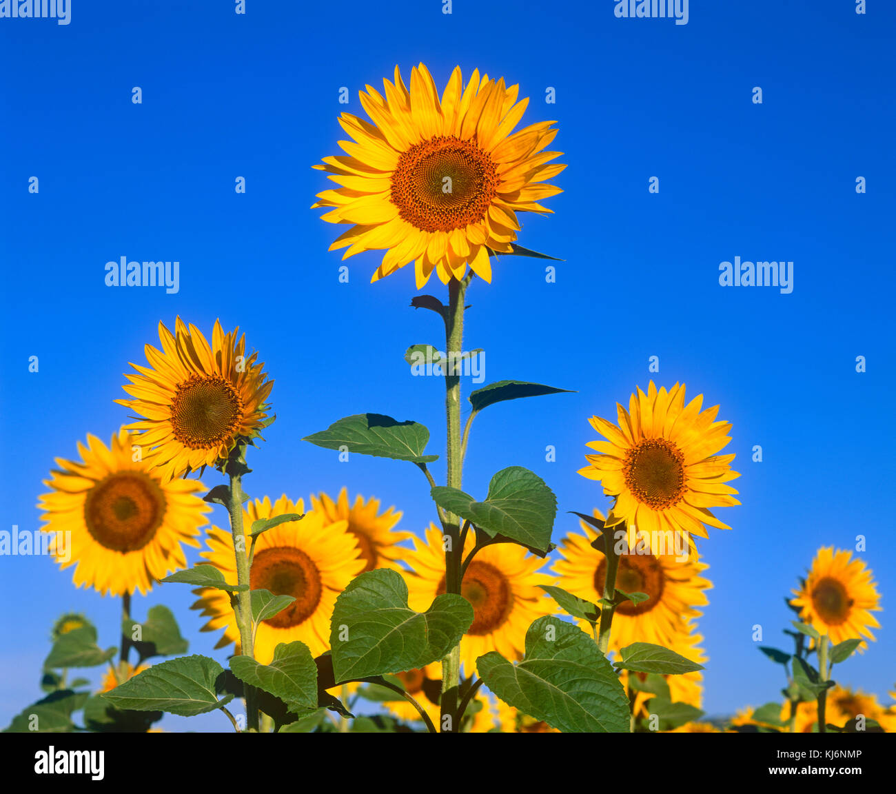 Sunflowers in Provence, France - Stock Image
