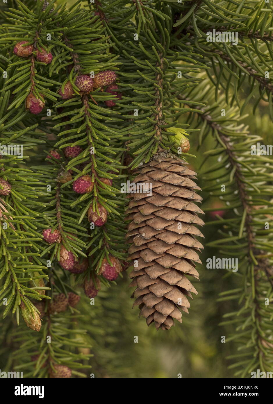 Male and Female cones of Norway Spruce, Picea abies, with foliage. - Stock Image