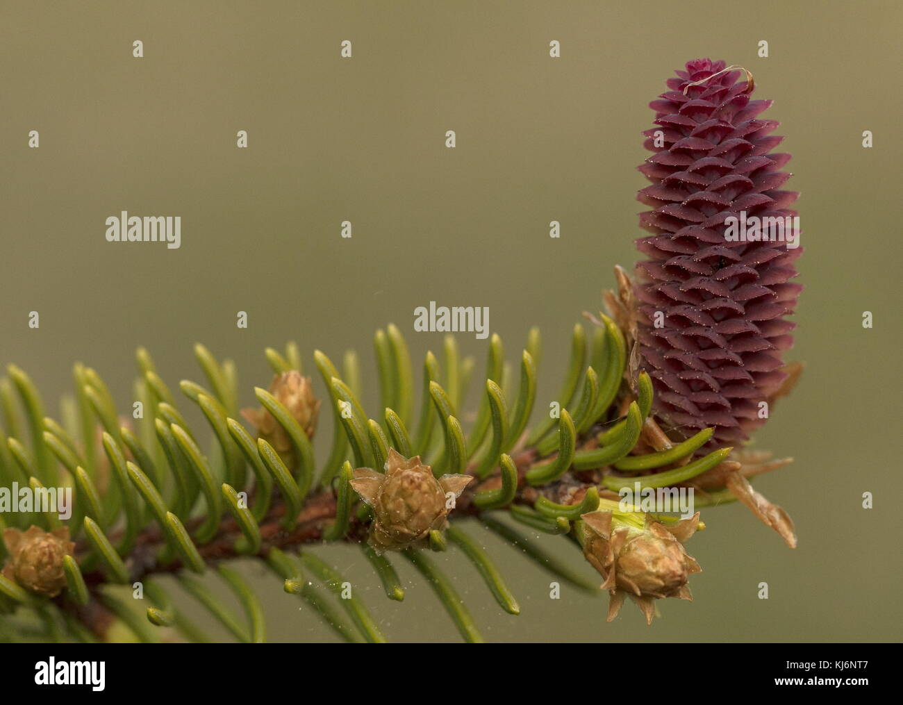 Young Female cones of Norway Spruce, Picea abies. - Stock Image