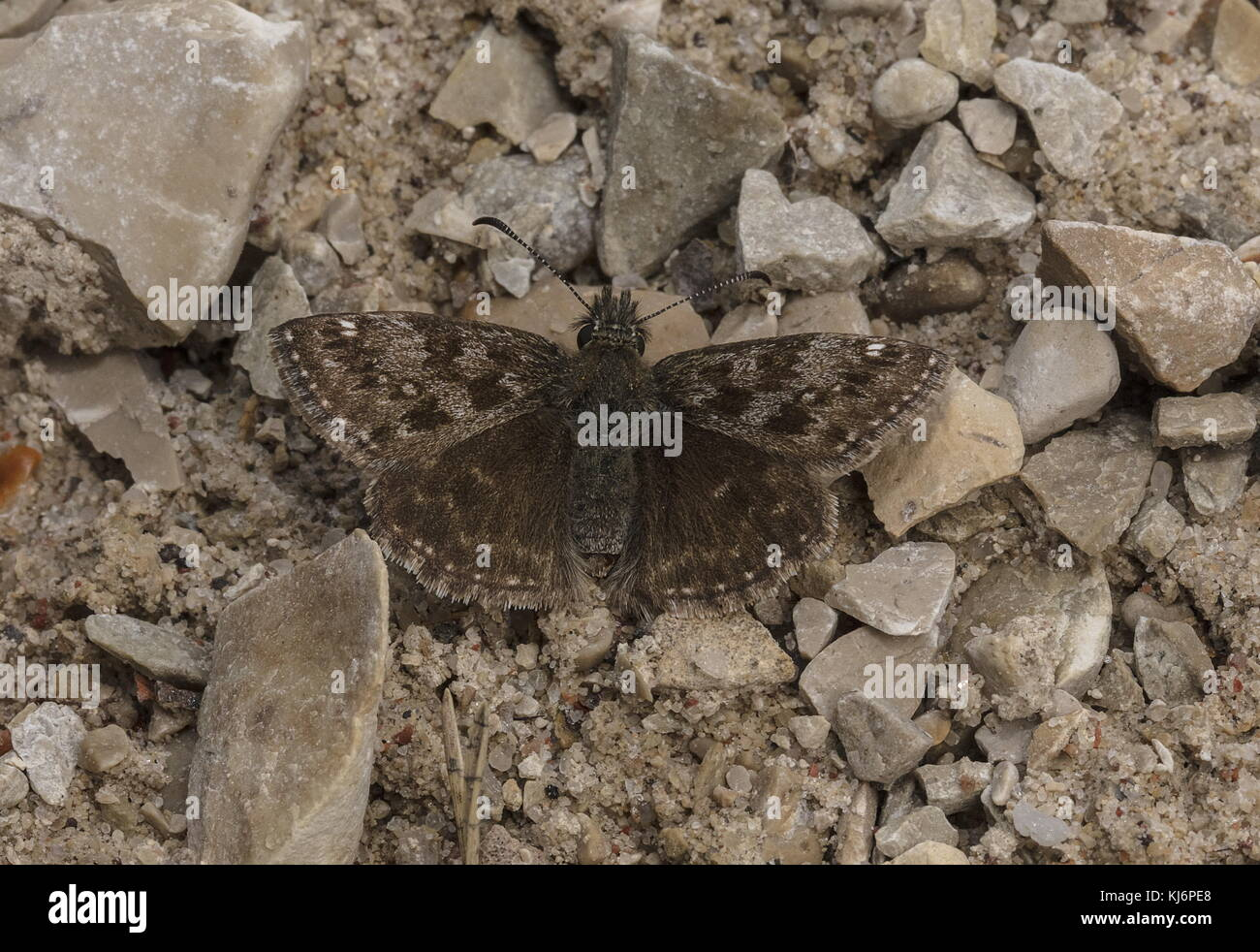 Male Dingy Skipper, Erynnis tages basking on a cool spring day. - Stock Image