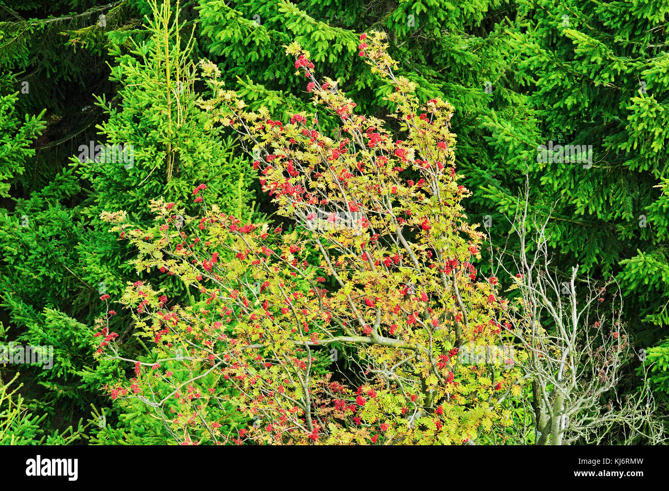 Sorbus aucuparia, rowan or mountain-ash tree canopy with red fruits against spruce trees. Rowan tree crown. Natural - Stock Image