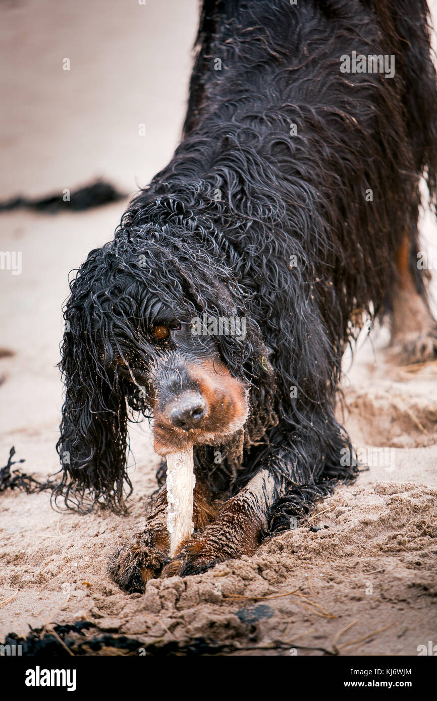 Gordon setter dog on the beach - Stock Image