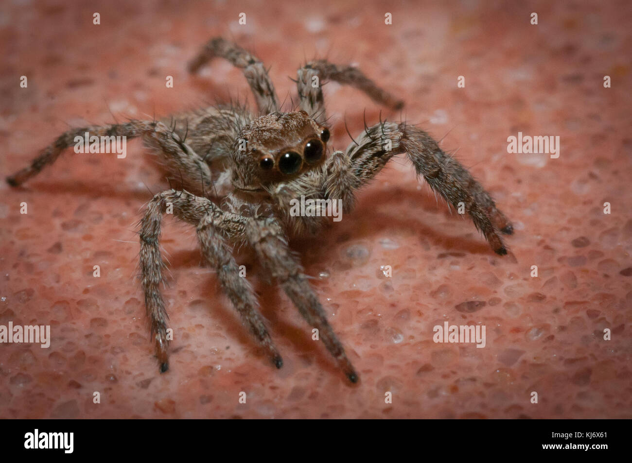 close up of a little spider - Stock Image