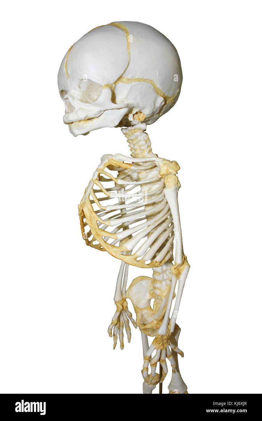 32 week old Human Fetal Skeleton Model - Stock Image