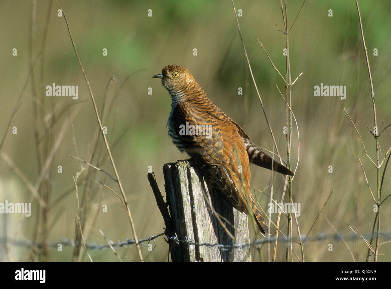 Kuckuck, braun gefärbtes Weibchen, Cucullus canorus, cuckoo - Stock Image
