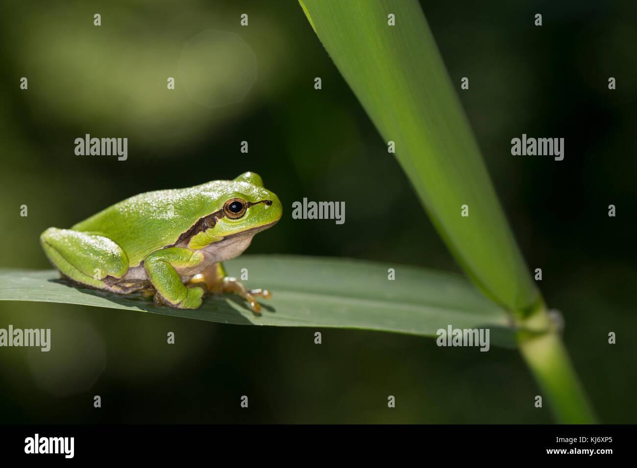 Europäischer Laubfrosch sonnt sich, Laub-Frosch, Frosch, Hyla arborea, European treefrog, common treefrog, Central Stock Photo