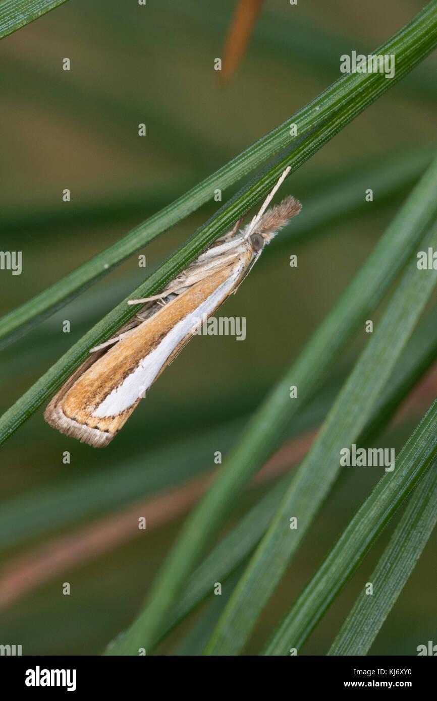 Zünsler, Catoptria margaritella, Crambus margaritellus, Pearl-band Grass Veneer, Silver-stripe Grass-veneer, - Stock Image