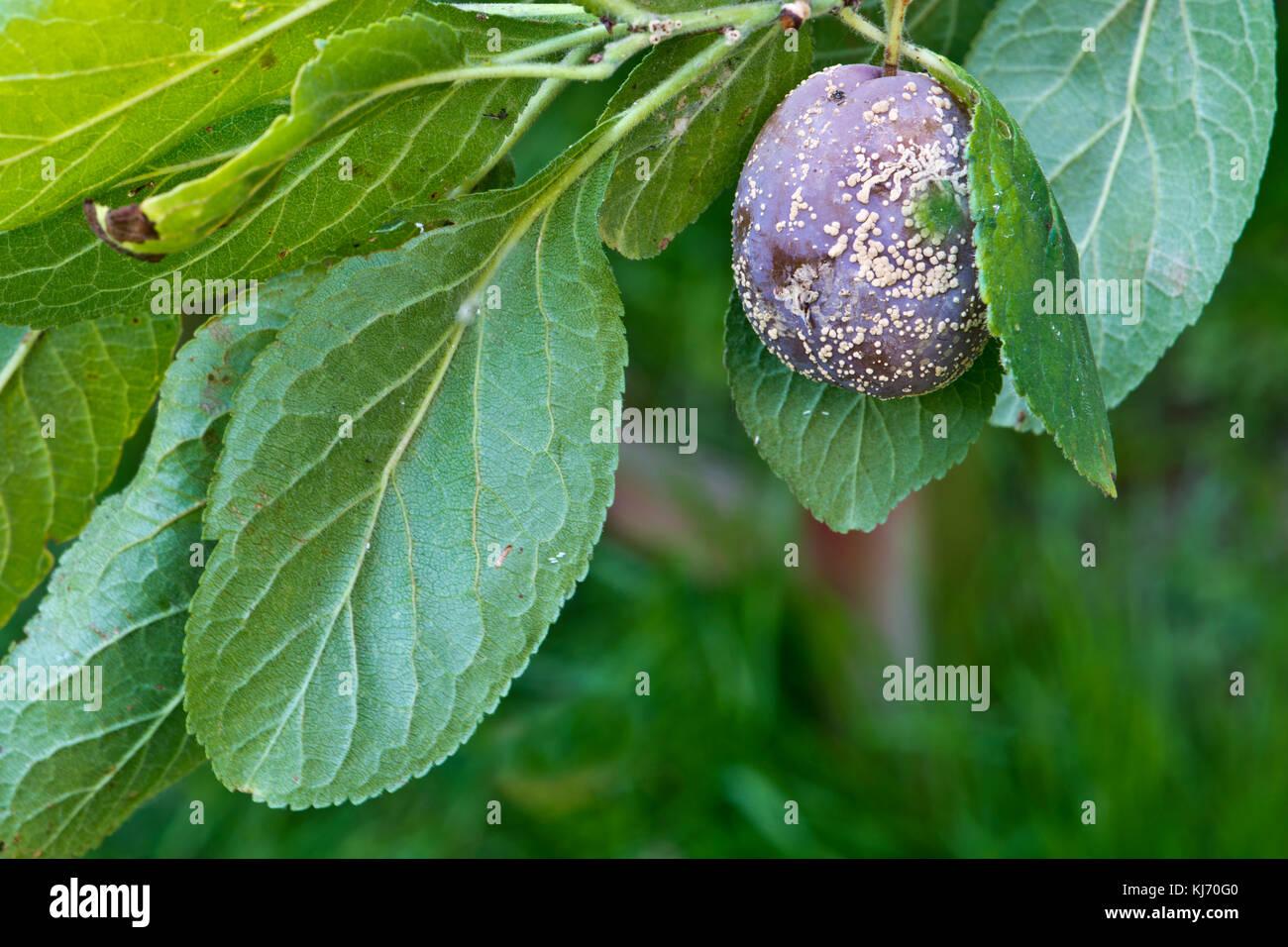 brown rot fungal disease (Monilinia fructicola) on a single plum. - Stock Image