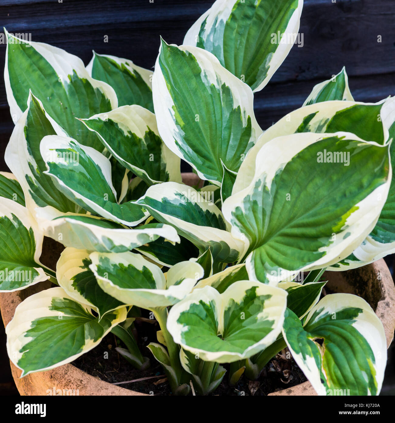 A Shot Of A Hosta Minuteman Plant Stock Photo 166112362 Alamy
