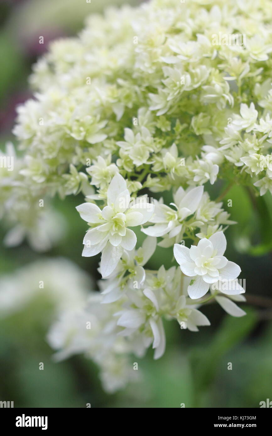 Hydrangea arborescens 'Hayes Starburst' in full bloom on a bright summer day (August), UK - Stock Image