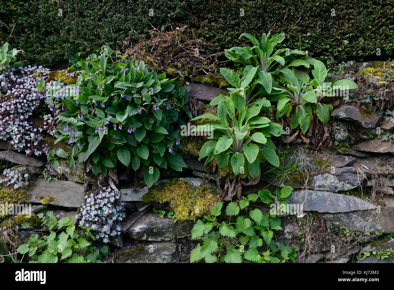 foxglove, borage, foxgloves, seedling, self sown, volunteer seedling, wall, crack, crevice, crevices, garden, gardening, - Stock Image