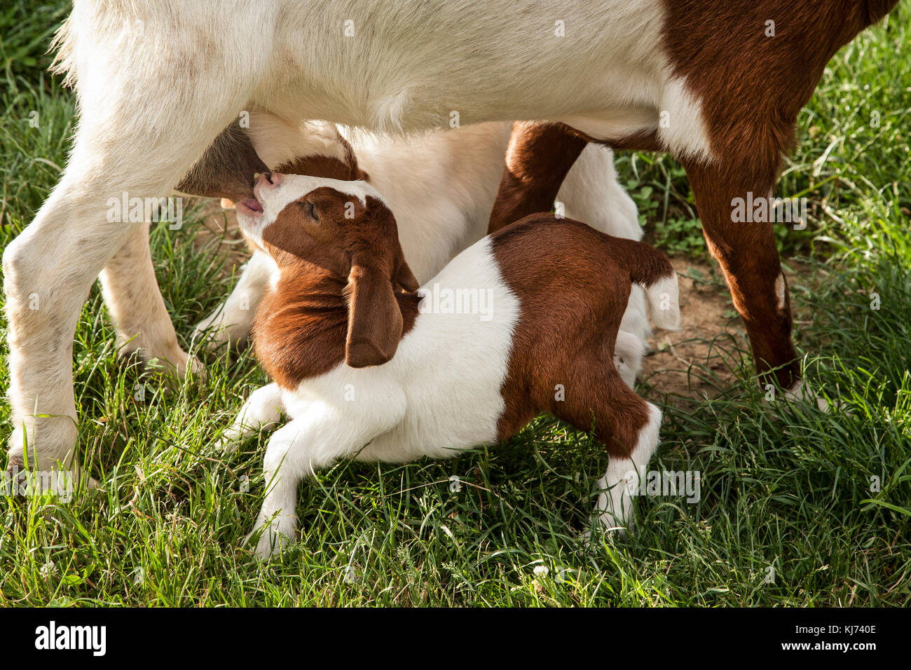 Baby goat nursing from mother goat on a farm, Lancaster County, Pennsylvania, USA, United States, animals isolated - Stock Image