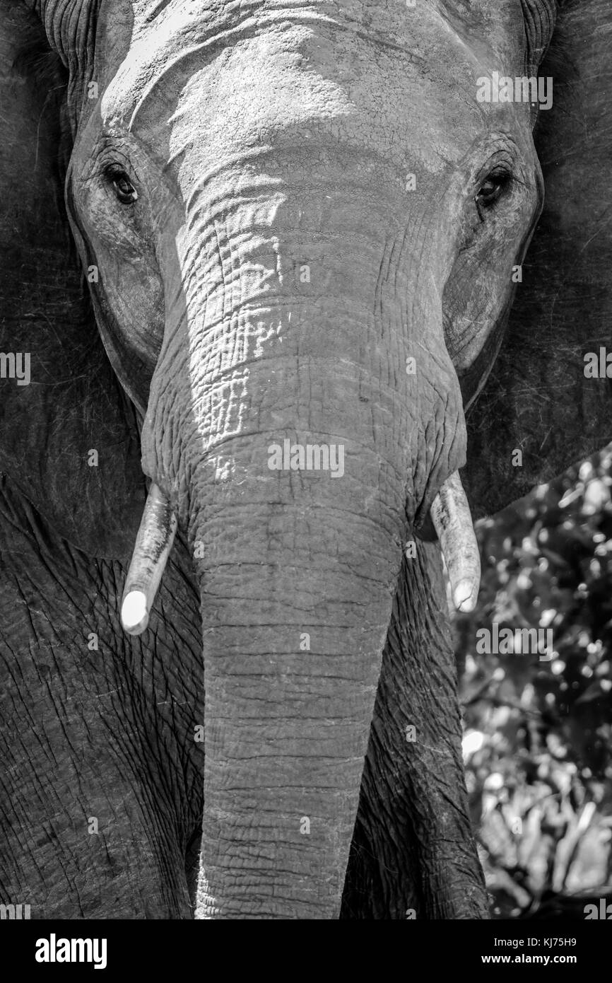 Face of elephant - Stock Image