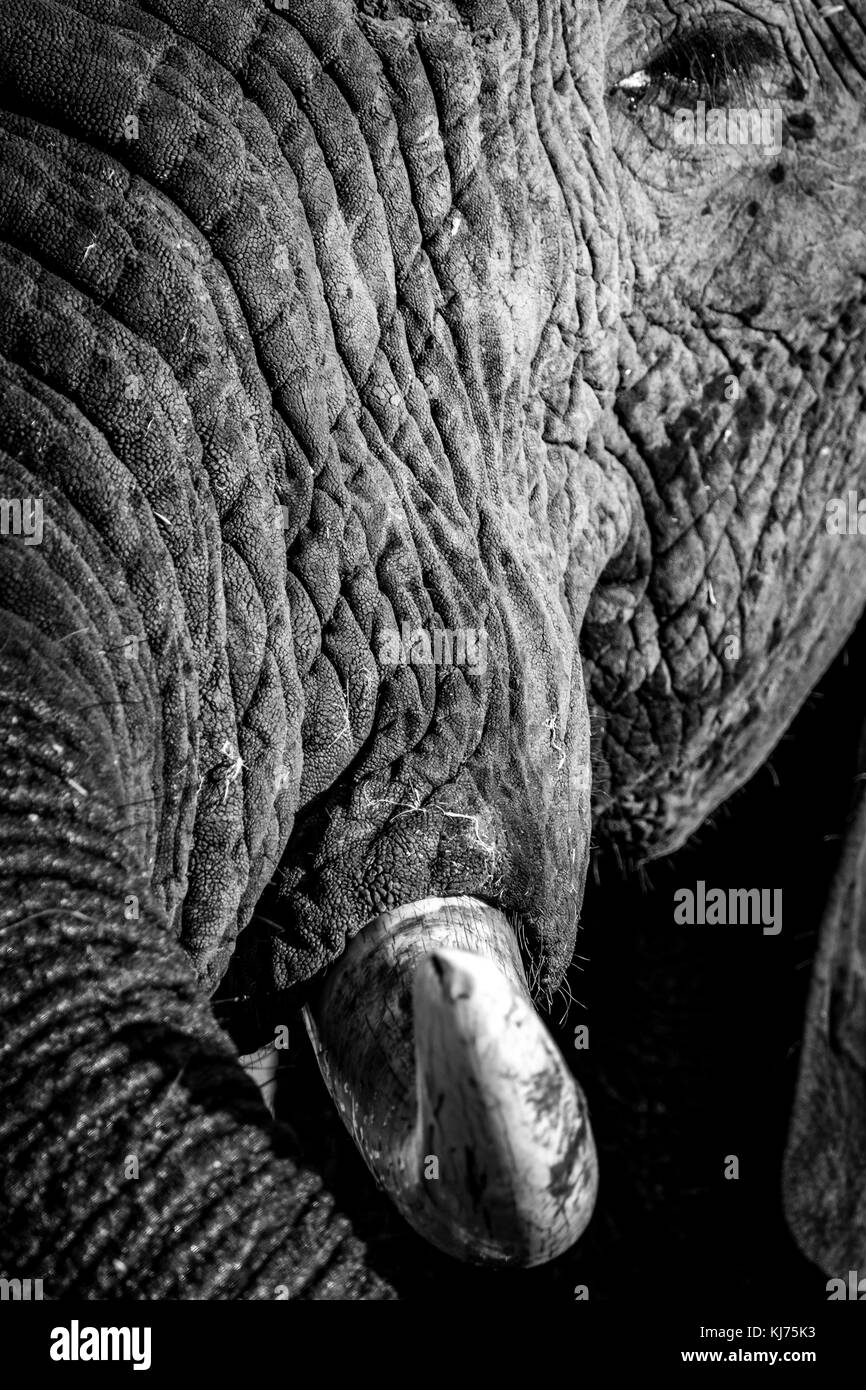 Tusk of elephant - Stock Image