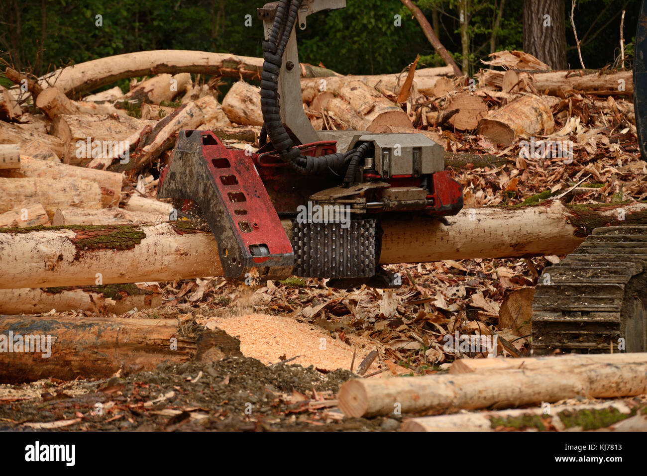 An auto cutter attachment measures and trims a Pinus radiata log at a logging site near Kumara, West Coast, New - Stock Image