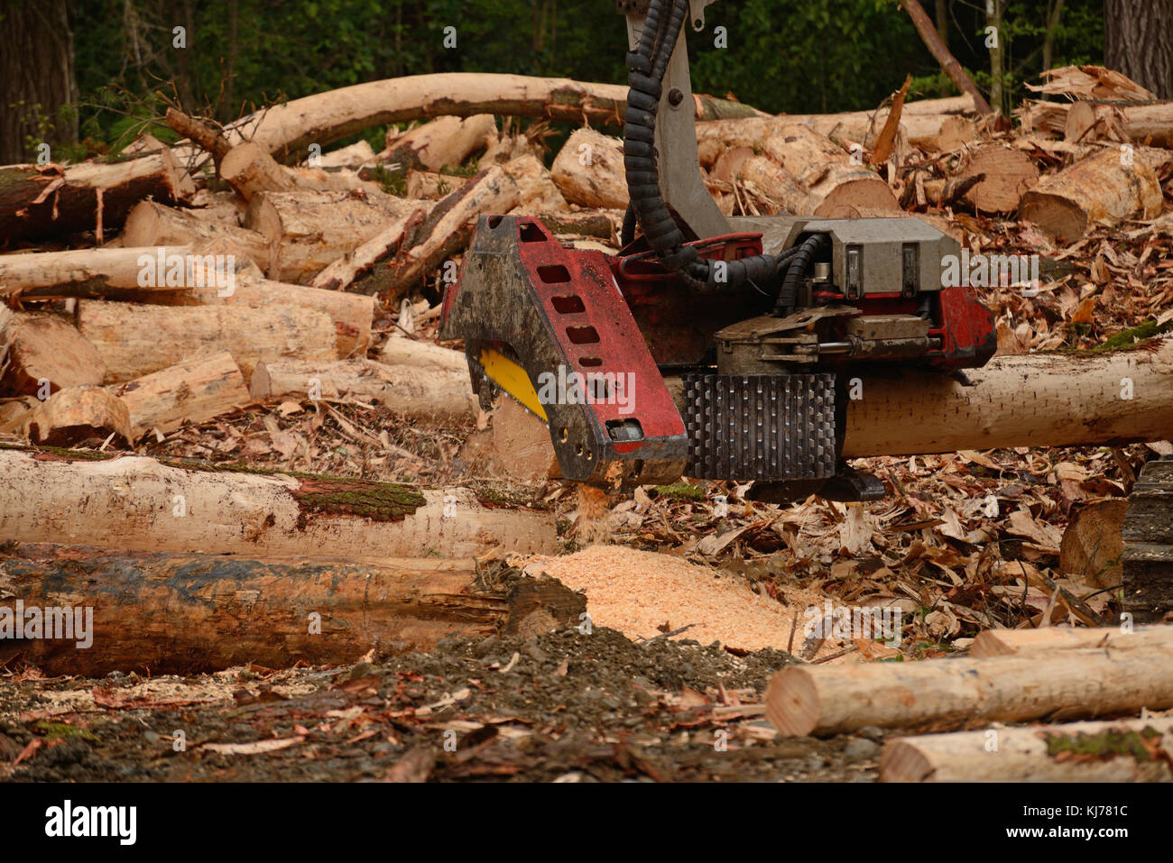 An autocutter attachment on a digger measures and  trims a Pinus radiata log at a logging site - Stock Image