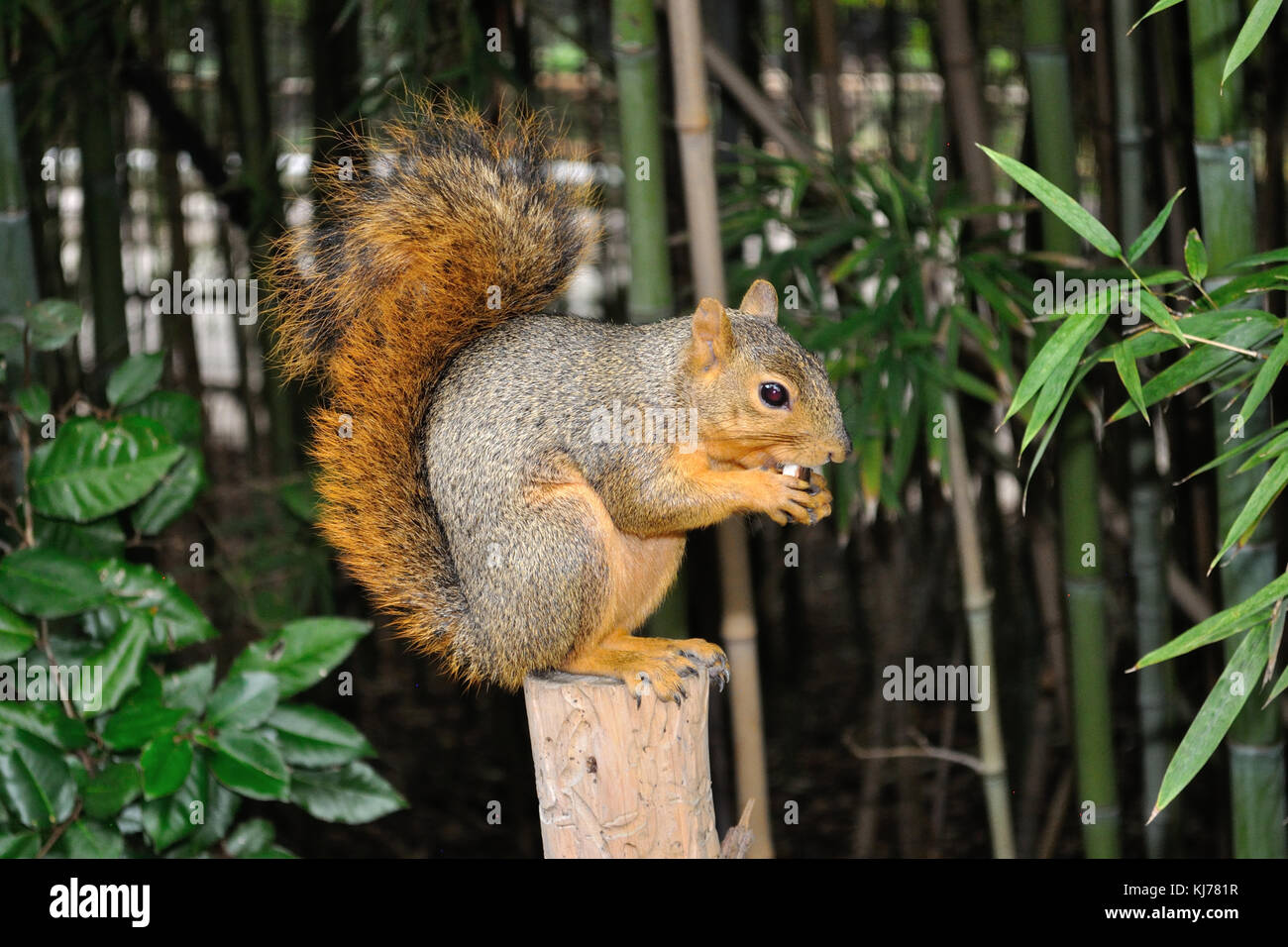 a red squirrel on a post in the garden - Stock Image