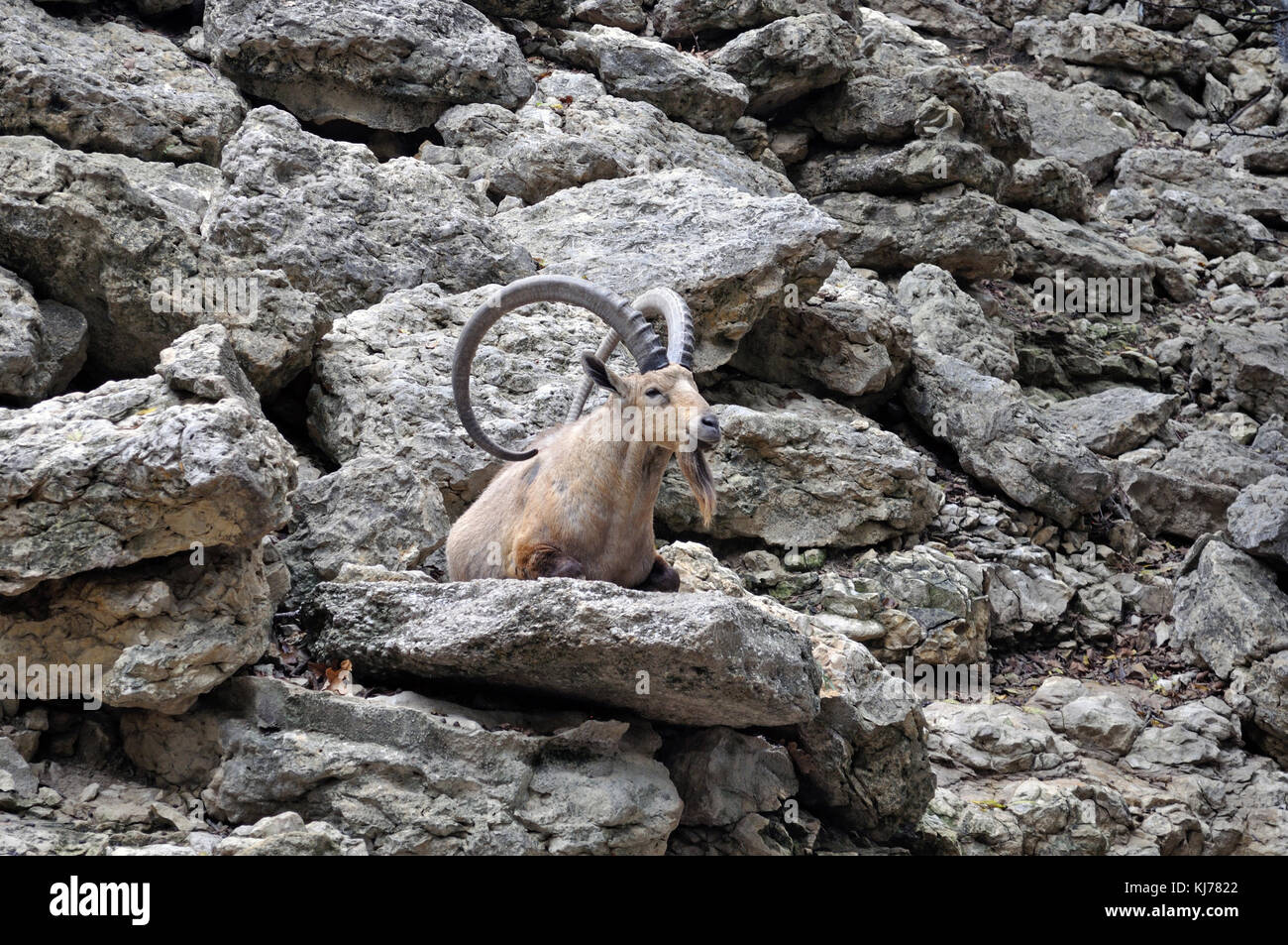 A longhorn goat resting in the midst of ragged rocks - Stock Image