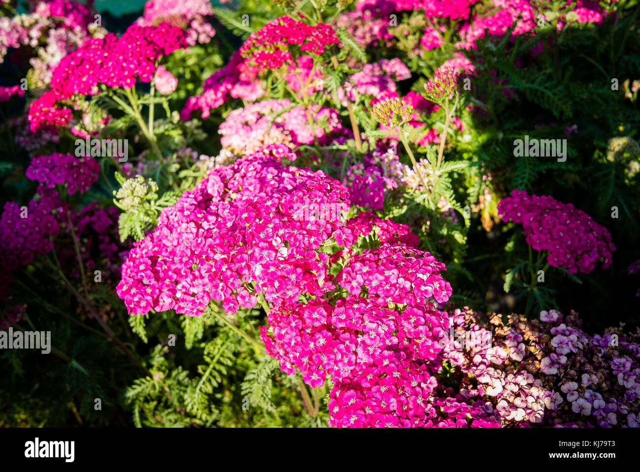 ACHILLEA Saucy Seduction in flower in UK - Stock Image