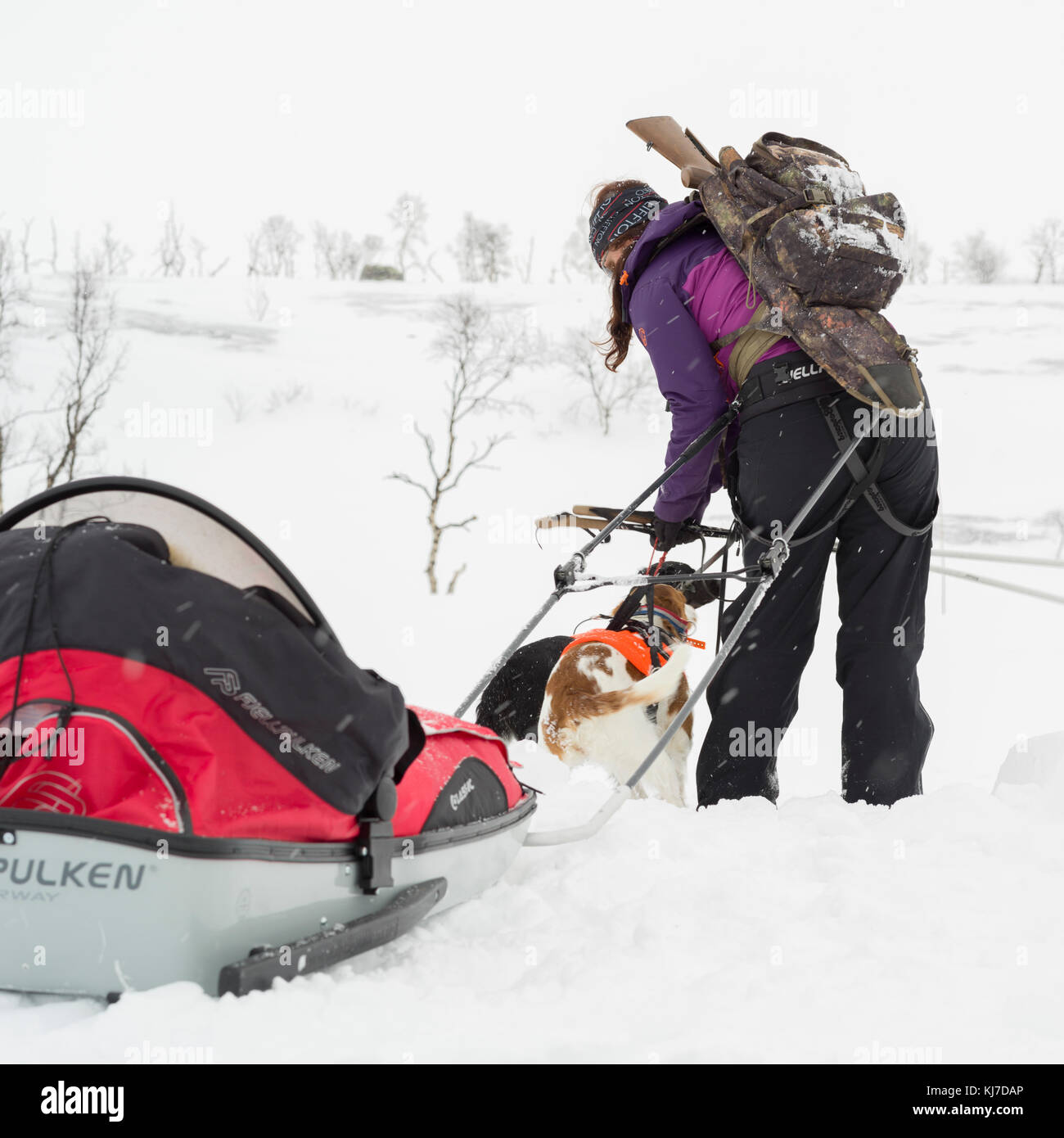 Woman dogsledding through a snowy landscape, Norrbotten County, Sweden - Stock Image