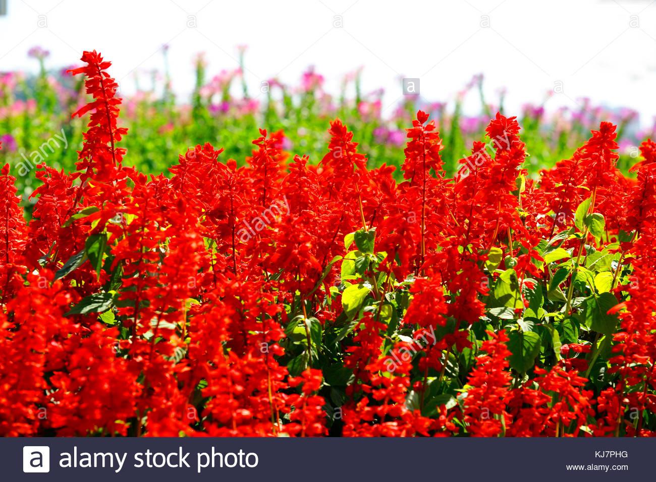 Wild flower of Korea Salvia - Stock Image