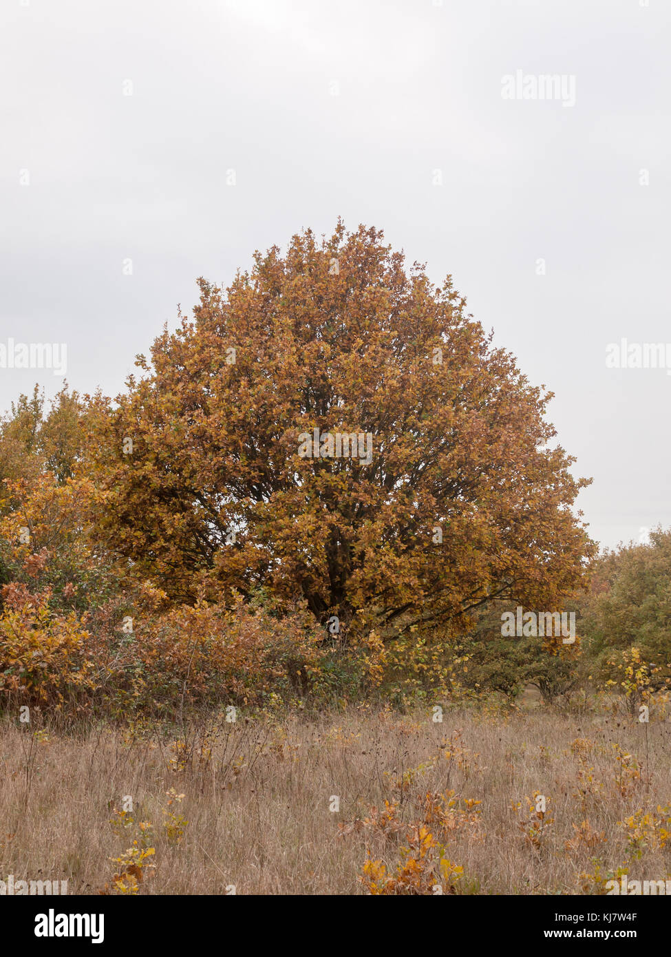 autumn red orange tree leaves brown autumn overcast moody; essex; england; uk sky background space country landscape - Stock Image