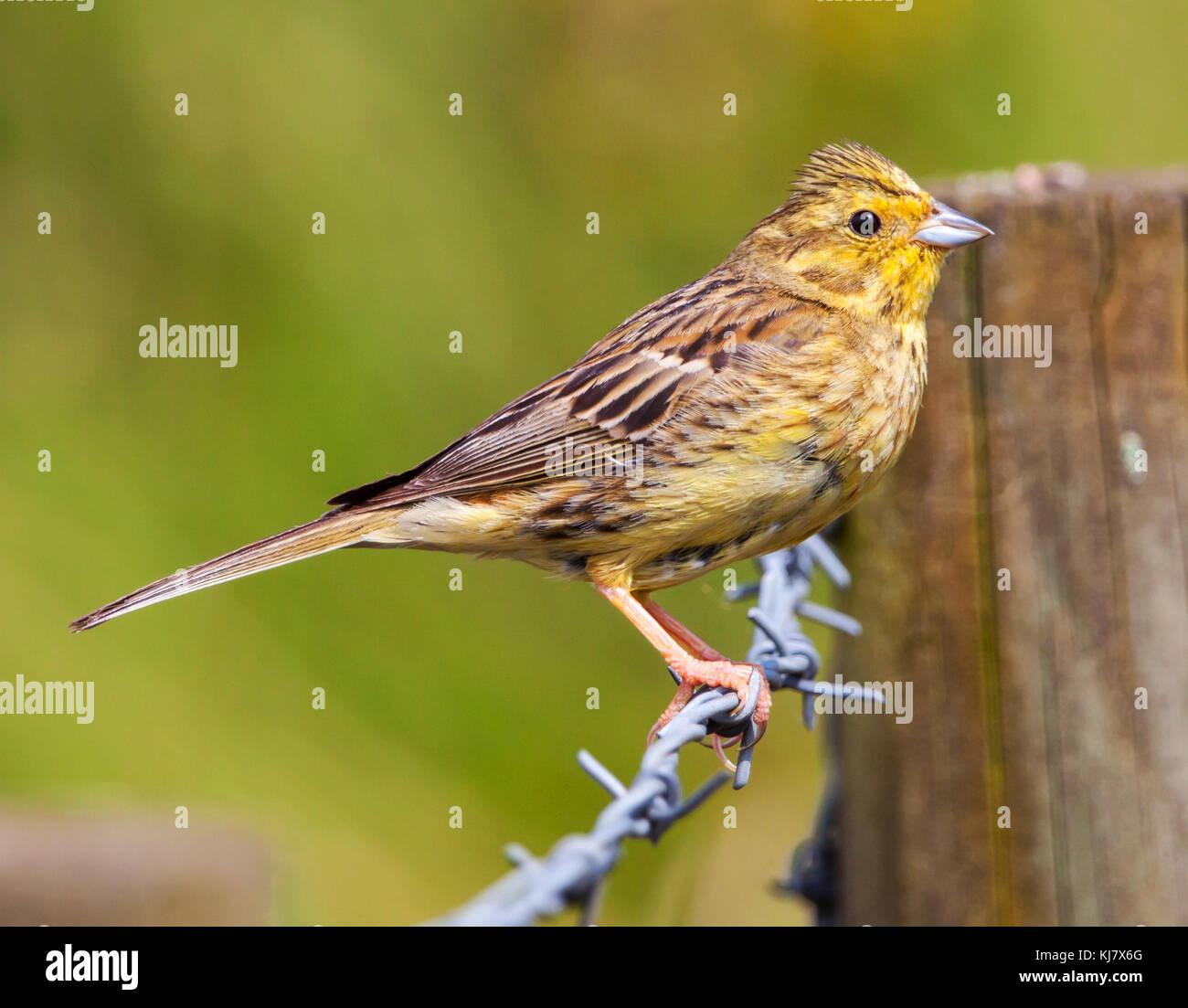 yellow hammer stock photo 166131352 alamy