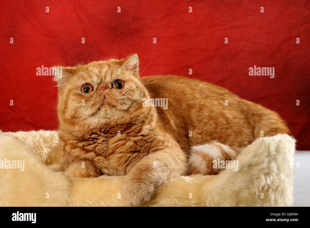 Exotic Shorthair, red tabby, lying Stock Photo: 166132970