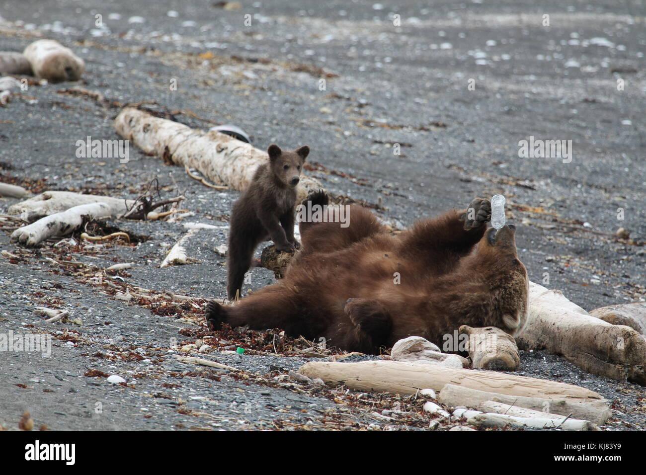 Momma Bear with Cub playing with plastic bottle washed up on beach on Ninagiak Island, Hallo Bay, Katmai National - Stock Image