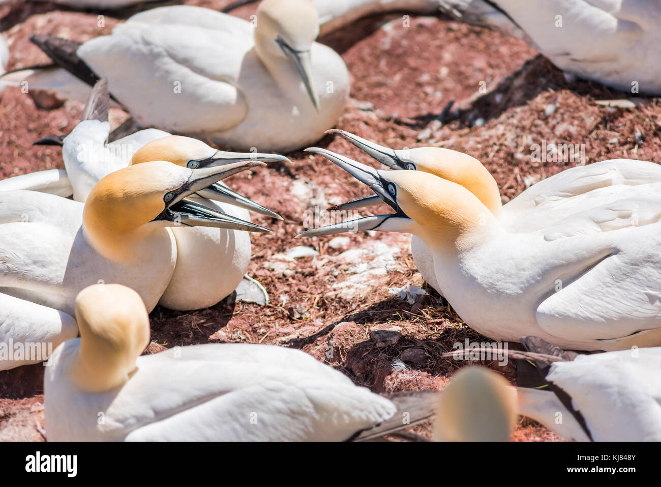 Two couple pair of four white Gannet bird neighbors closeup with beaks, bills open arguing fighting screaming on - Stock Image
