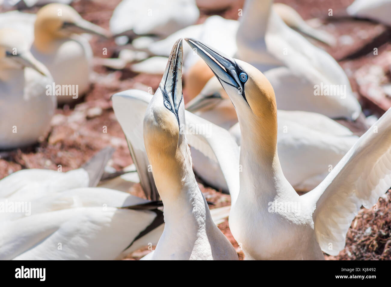 Couple pair of white Gannet bird sitting on whole egg with shell on Bonaventure Island cliff in Perce, Quebec, Canada Stock Photo