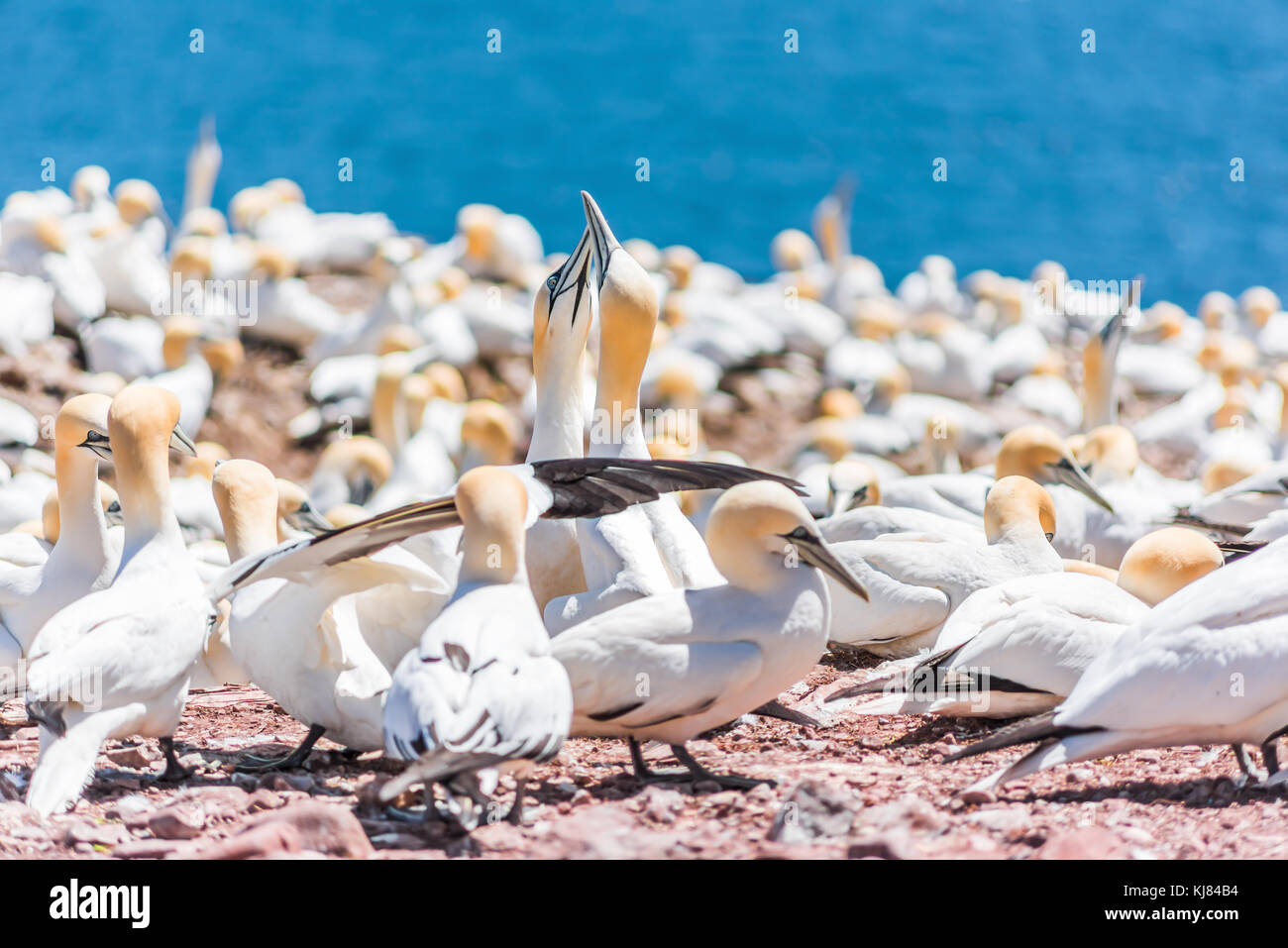 Couple pair of white Gannet bird sitting on whole red egg with shell on Bonaventure Island cliff in Perce, Quebec, Stock Photo