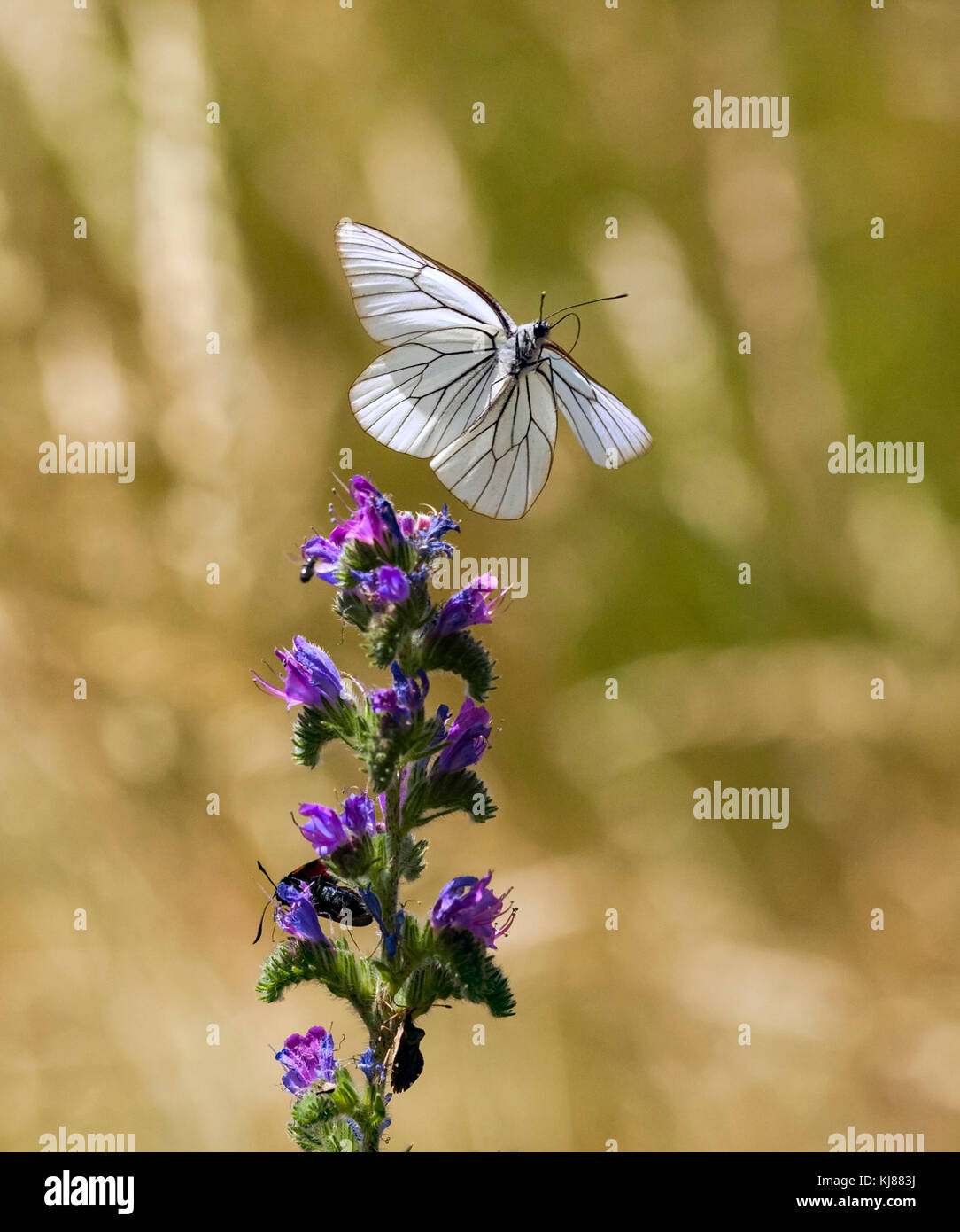 Black-veined White butterfly Aporia crataegi in flight seen from the underside over a flower head in central Spain - Stock Image