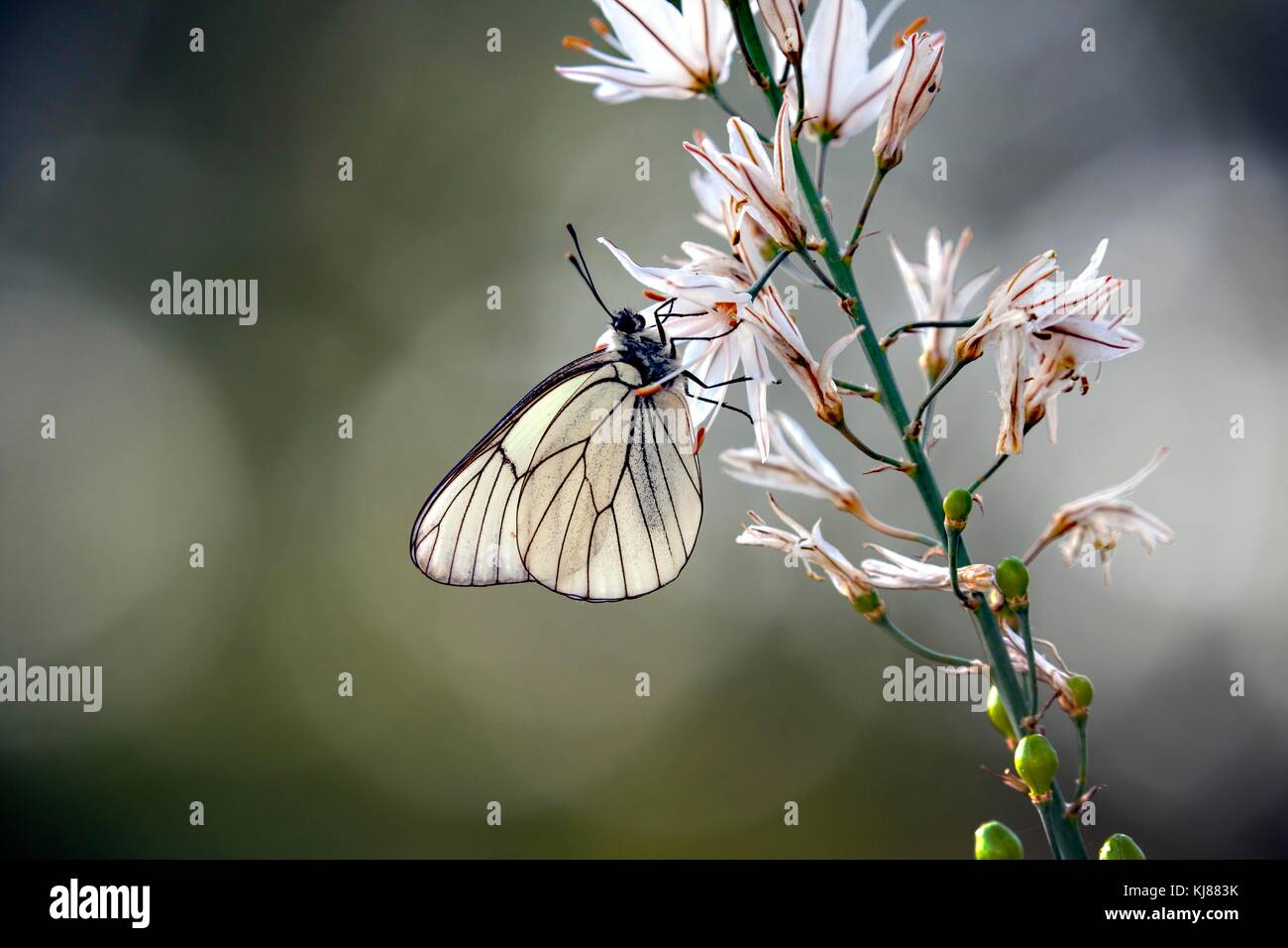 Black-veined White butterfly Aporia crataegi basking in the sun on a flower-head  at Riaza in central Spain - Stock Image