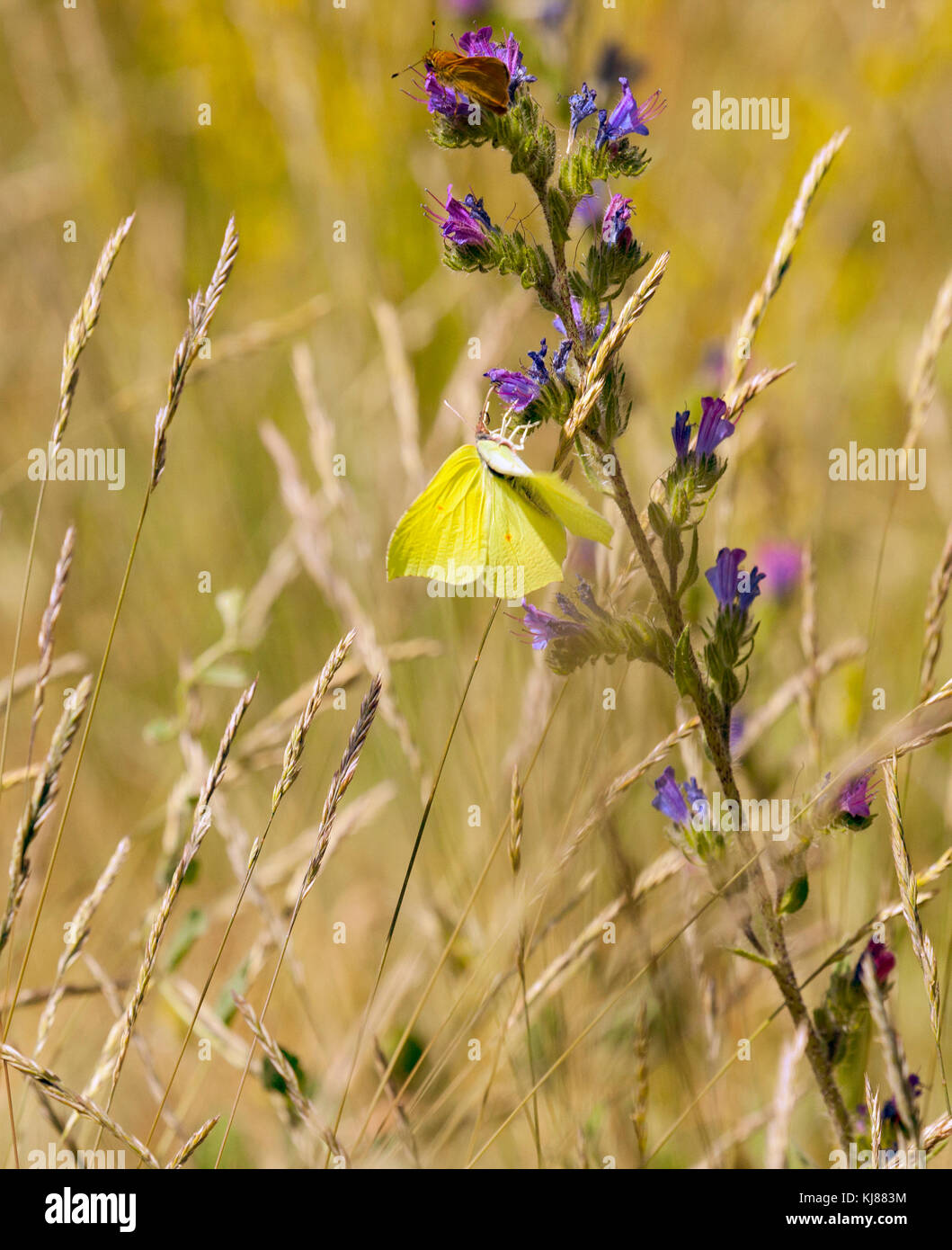 Brimstone butterfly Gonepteryx rhamni basking in the sun with its wings open showing the yellow colour of its upper - Stock Image