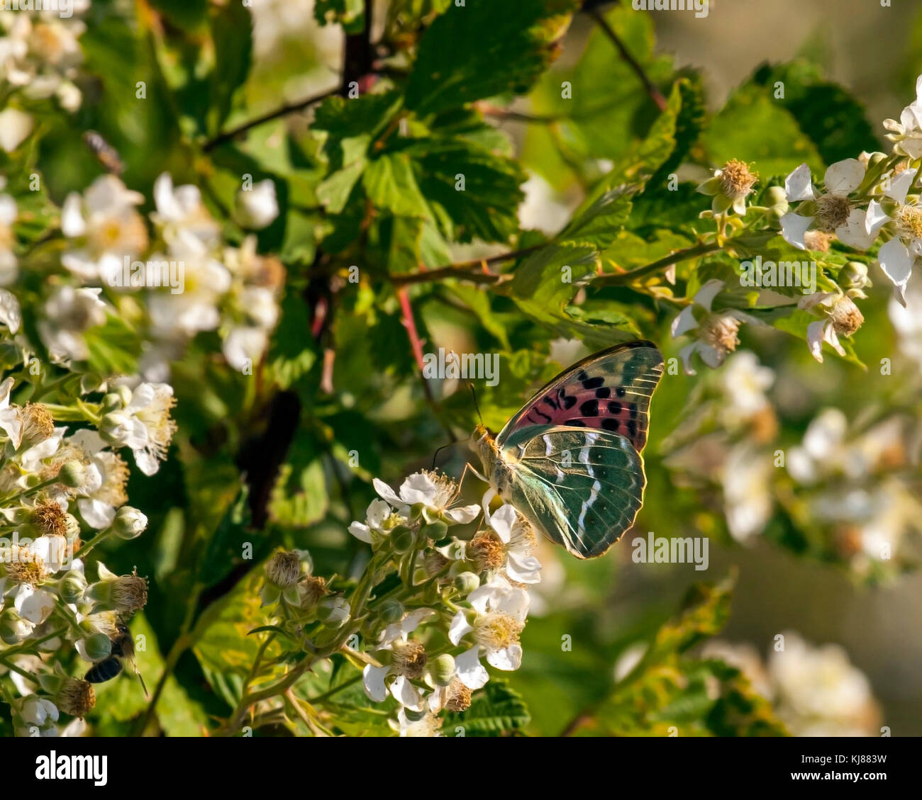 Cardinal Fritillary butterfly Argynnis pandora basking in the sun on the flowerhead of bramble blossom at Riaza - Stock Image