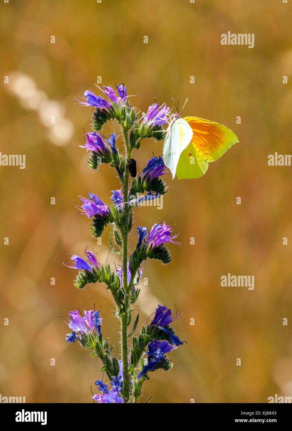 Cleopatra butterfly Gonepteryx cleopatra basking in the sun with wings open on a flower head showing its orange - Stock Image