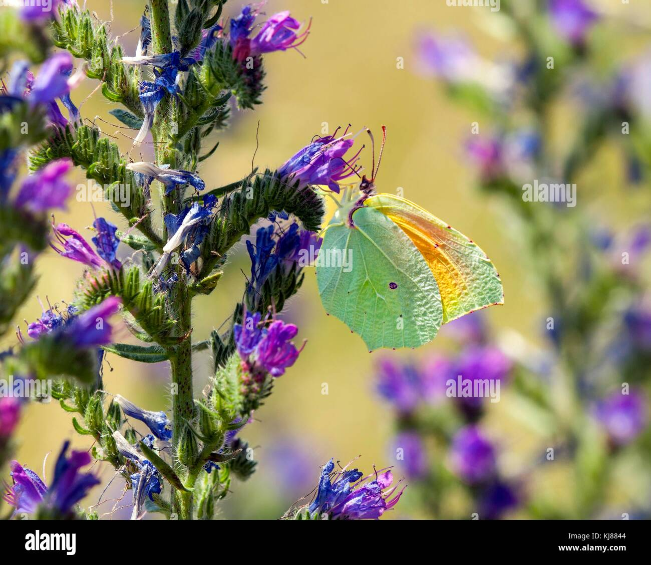 Cleopatra butterfly Gonepteryx  cleopatra basking in the sun on a flower head showing its orange colour on its wings - Stock Image